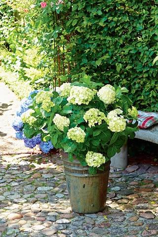 Photo of Winterschutz für Hortensien
