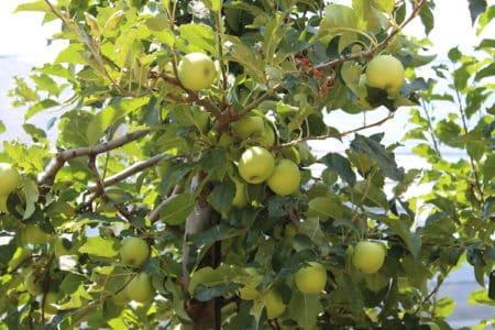 Obstgehölze brauchen vor der Winterruhe einen Rückschnitt