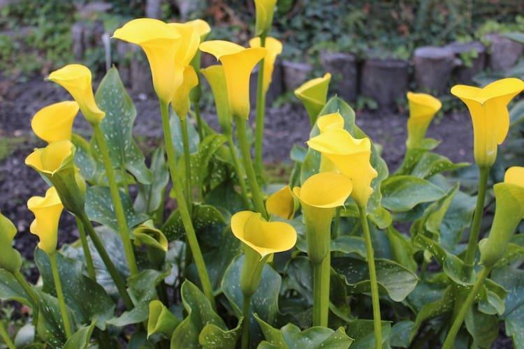 Photo of Sommerblumenzwiebeln jetzt noch schnell pflanzen