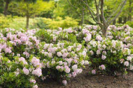 Im Kampf gegen den Buchsbaumzünsler helfen teilweise nur die Alternativen für den Buchbaum wie der Bloombux