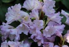 """Photo of Pflegeleichter Rhododendron – einfach """"Easy"""" für jeden Garten geeignet"""